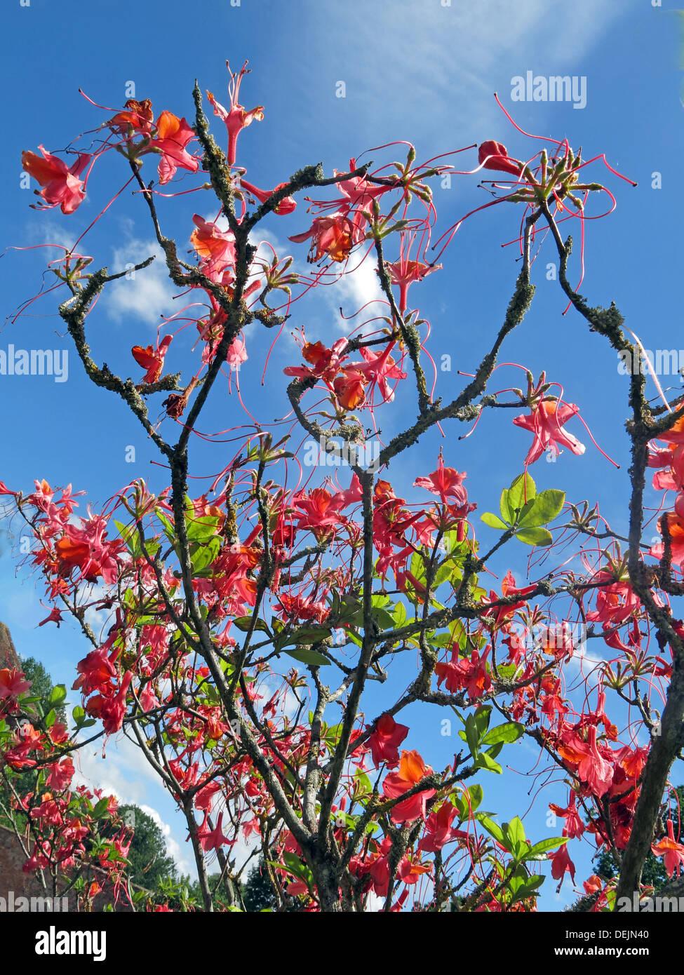 Laden Sie dieses Alamy Stockfoto Rote Blüten auf einem Strauch in Barrington Court NT Unterkunft in Somerset, SW England, UK - DEJN40