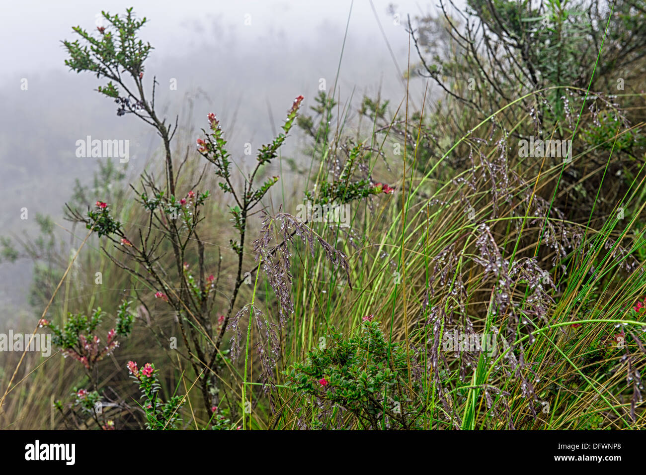Cotopaxi-Nationalpark, Vegetation, Provinz Cotopaxi, Ecuador Stockbild