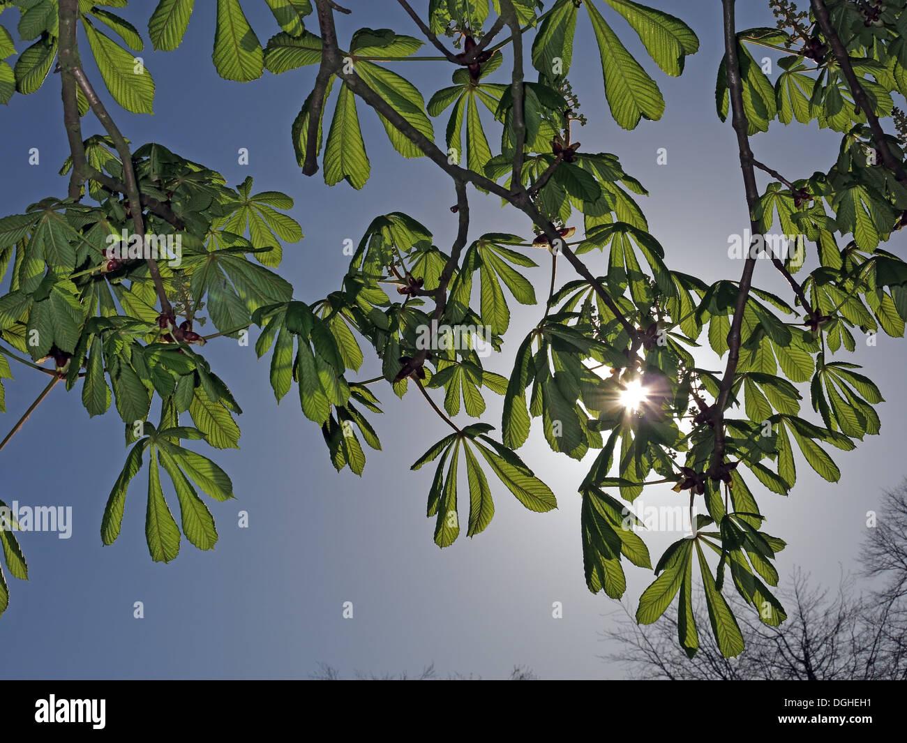 Laden Sie dieses Alamy Stockfoto Rosskastanie mit Sonne im Rücken, Aesculus Hippocastanum im Frühjahr - DGHEH1