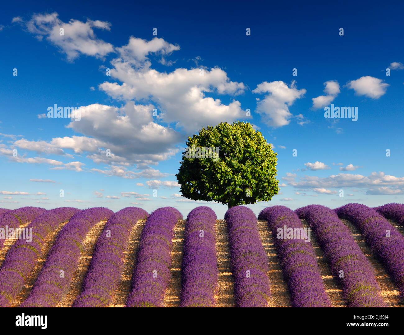 Baum im Lavendelfeld mit Wolken am blauen Himmel. Stockbild