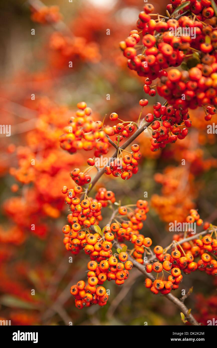 Fülle von orange Beeren wachsen auf Zweigen Stockbild