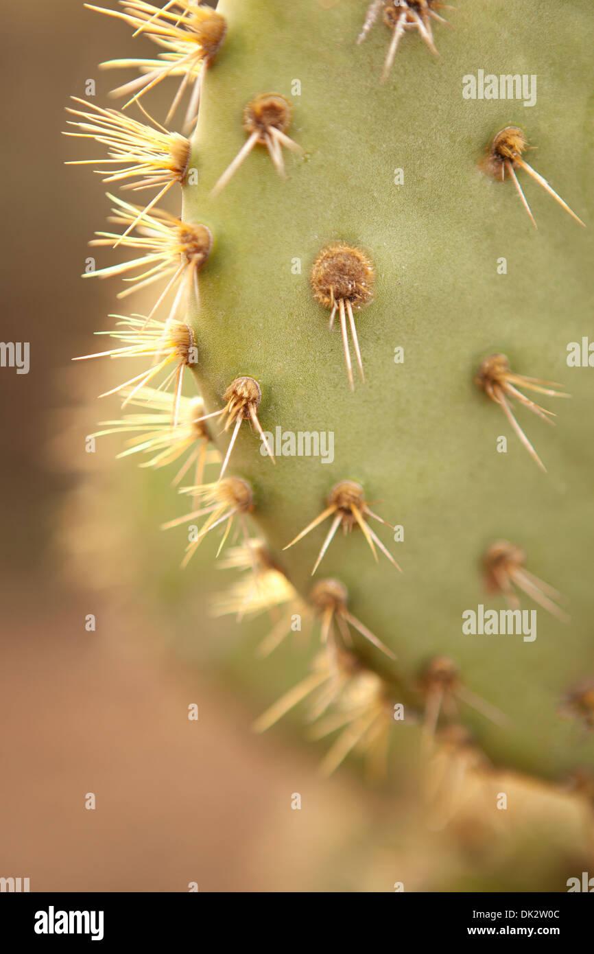 Nahaufnahme Detail Dornenkrone auf stacheligen grüner Kaktus Stockbild