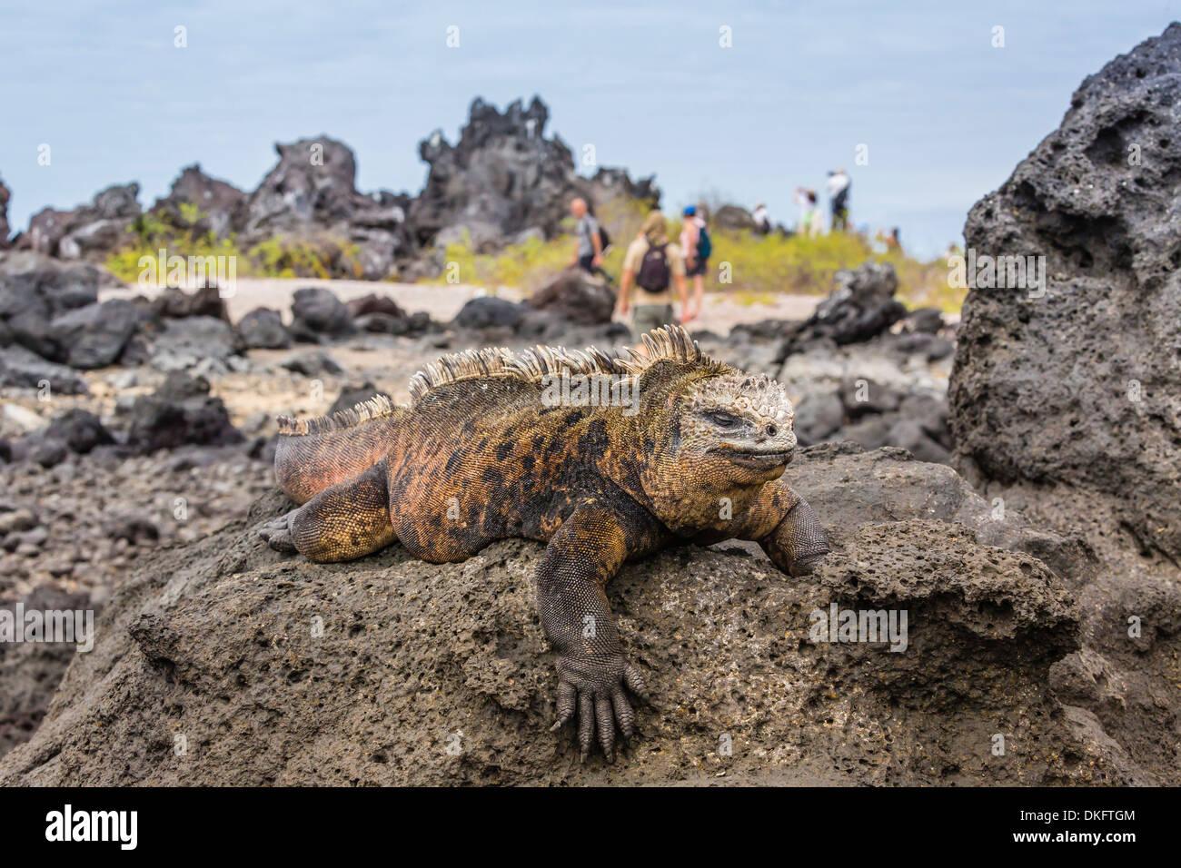 Galapagos marine Iguana (Amblyrhynchus Cristatus) sonnen sich in UNESCO-Website, Ecuador, Galapagos-Inseln, Insel Stockbild
