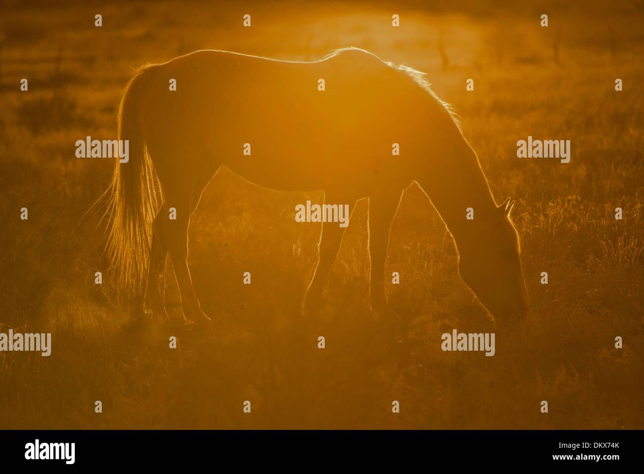 Pferd, Tier, offenen Bereich, USA, USA, Amerika, Arizona, Gegenlicht, Sonnenuntergang, Stockbild