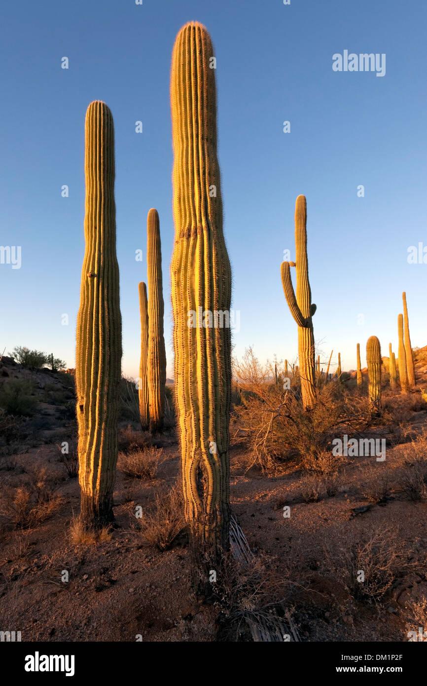 Gigantischen Saguaro Kaktus (Carnegiea Gigantea), Saguaro West National Park, Tucson, Arizona Stockbild