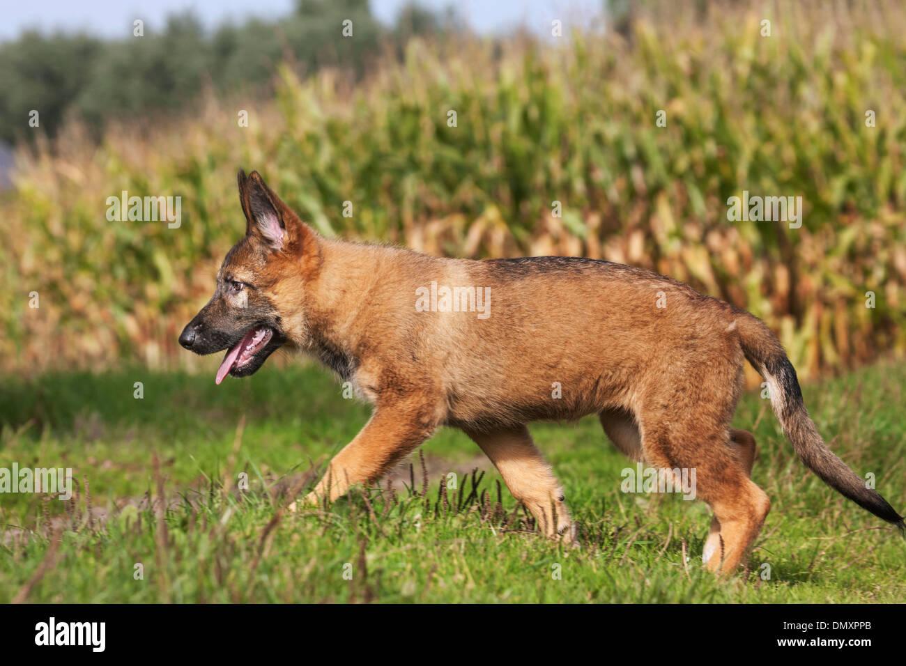 Neugierig Schäferhund Welpe Hund (Canis Lupus Familiaris) zu Fuß und erkunden in Feld Stockbild