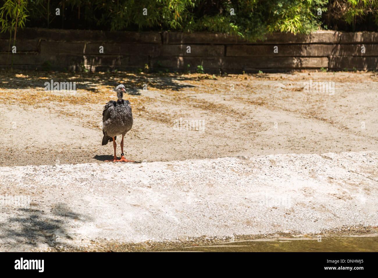 Junge Strauß (Struthio Camelus) in einem Zoo, Zoo von Barcelona, Barcelona, Katalonien, Spanien Stockbild