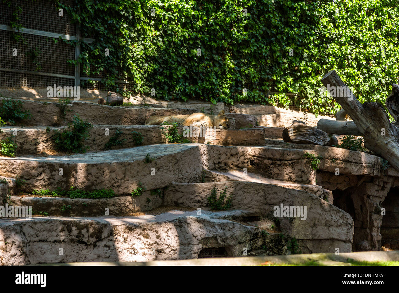 Löwe (Panthera Leo) schlafen im Zoo, Zoo von Barcelona, Barcelona, Katalonien, Spanien Stockbild
