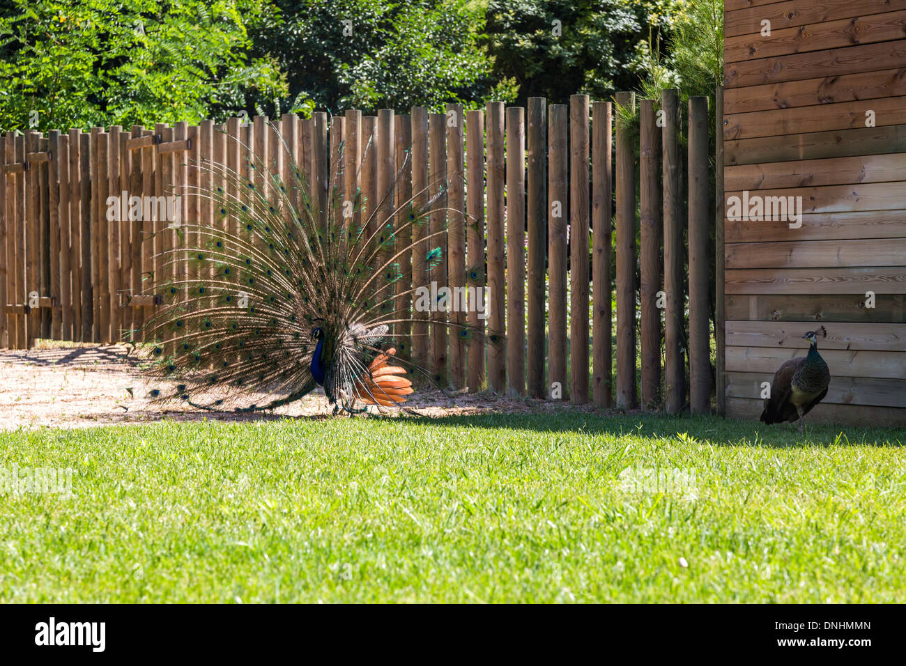 Männlichen indischen Pfauen (Pavo Cristatus) Anzeige Gefieder, Zoo von Barcelona, Barcelona, Katalonien, Spanien Stockbild