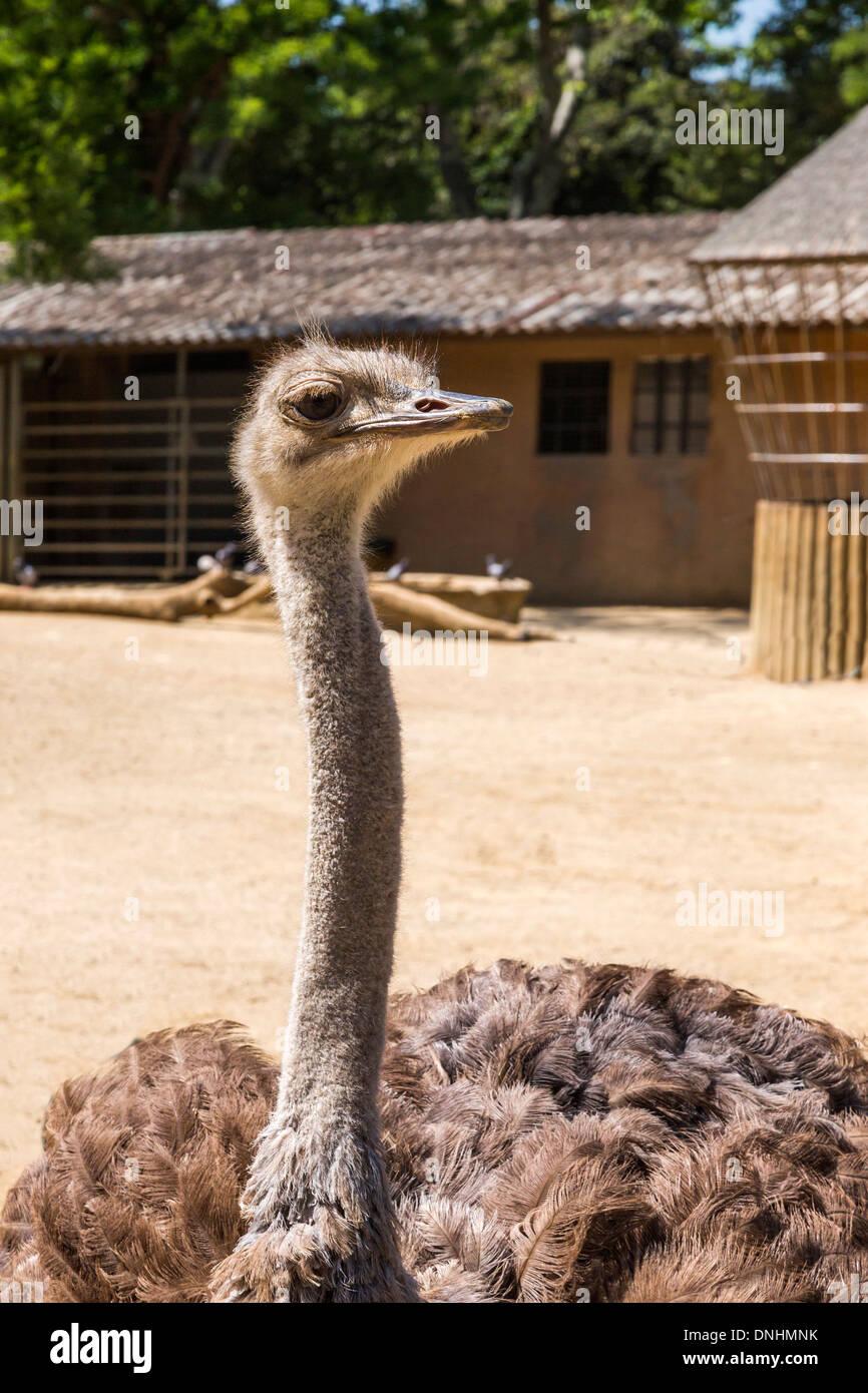Nahaufnahme von einem Strauß (Struthio Camelus) in einem Zoo, Zoo von Barcelona, Barcelona, Katalonien, Spanien Stockbild