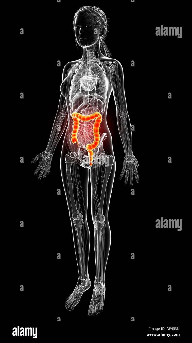 Niedlich Ross Und Wilson Anatomie Und Physiologie 11. Ausgabe Pdf ...