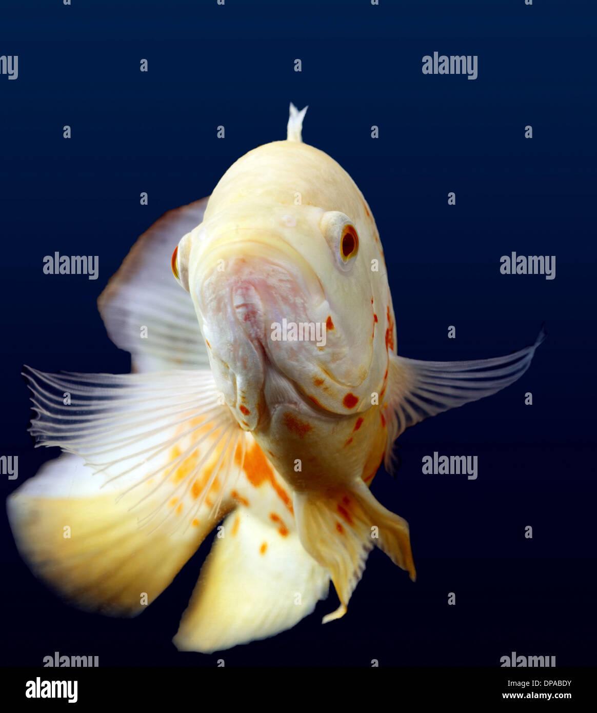Oscar-Weißfisch Stockbild
