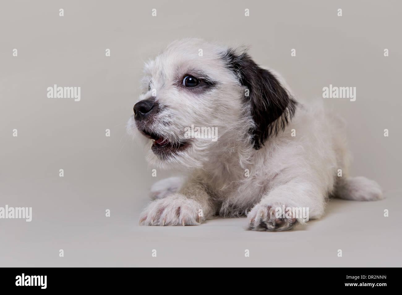 Happy Welpen lächelnd auf Lichtstudio grauen Hintergrund. Stockbild