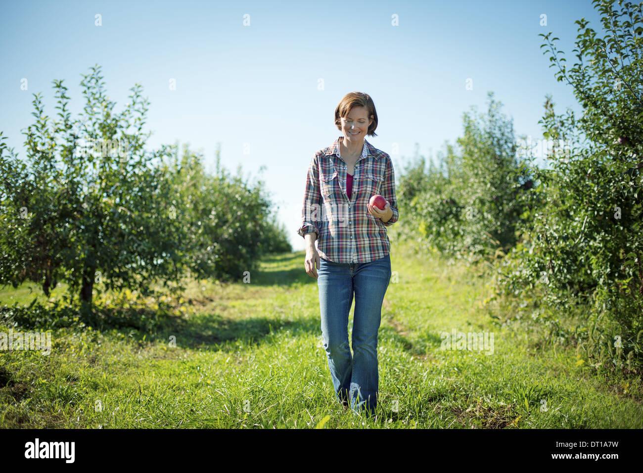 Woodstock, New York USA Frau im karierten Hemd pflücken Äpfel im Obstgarten Stockbild