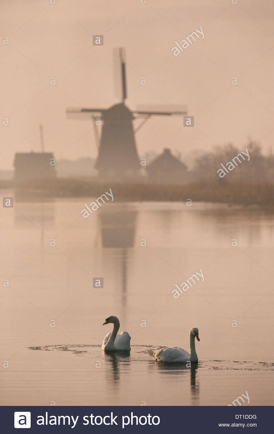 Texel Niederlande Schwäne auf dem Wasser historische Windmühle in Texel Stockbild