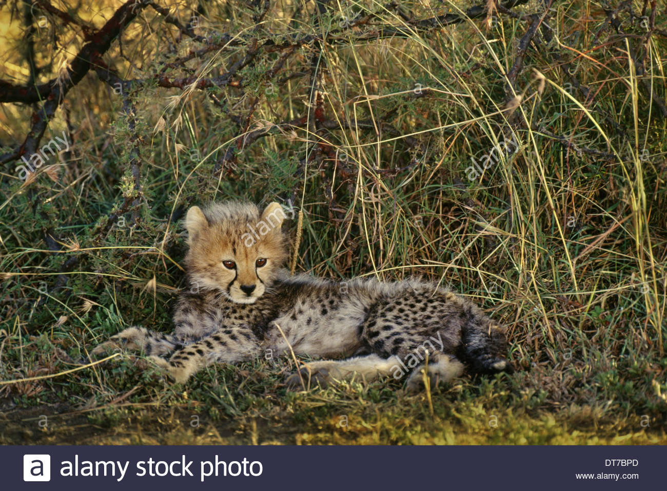 Gepard Cub ruhen Acinonyx Jubatus Kenia Kenia Stockbild