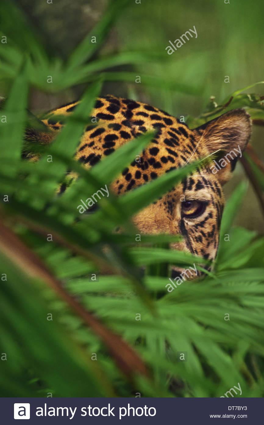 Ein Jaguar-Kopf hinter Laub Panthera Onca Belize Belize gesehen Stockbild