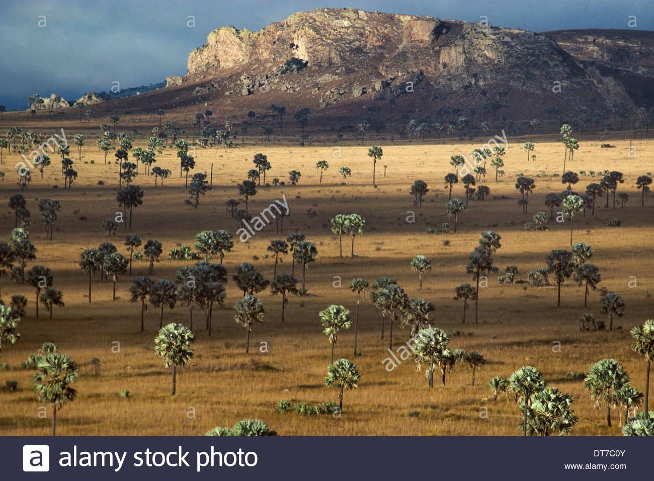 Palm-Savanne Horombe Plateau südlichen Madagaskar Palme Savanne Horombe Plateau Süd-Madagaskar Stockbild