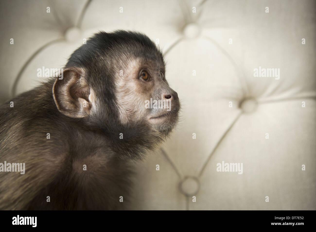 Ein Kapuziner Affe sitzt auf einem Buttonbacked Polsterstuhl Austin Texas USA Stockbild
