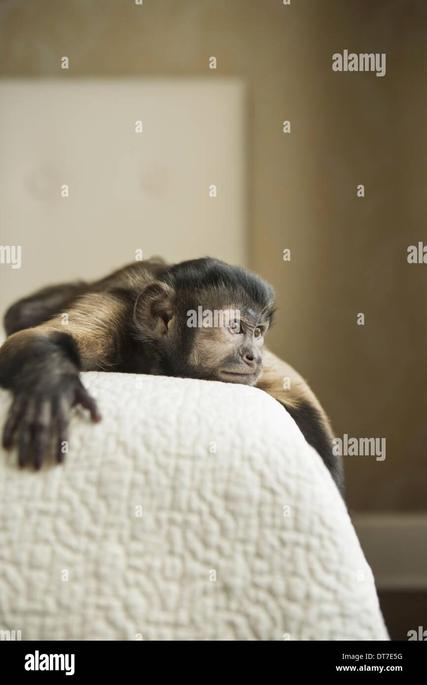 Ein Kapuziner Affe liegend auf einem Bett Austin Texas USA Stockbild