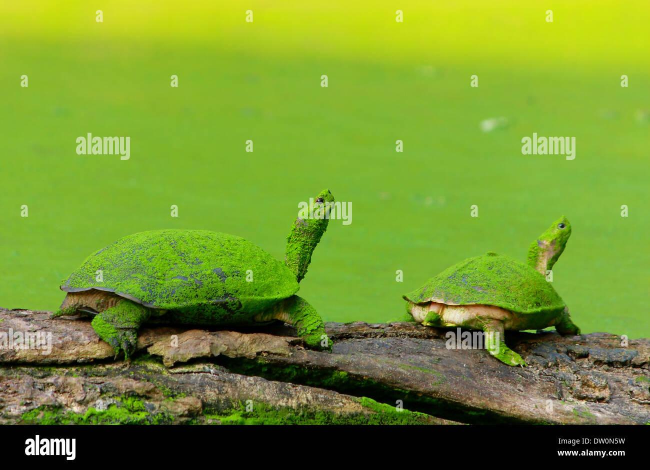 Carey im grünen Teich Stockbild