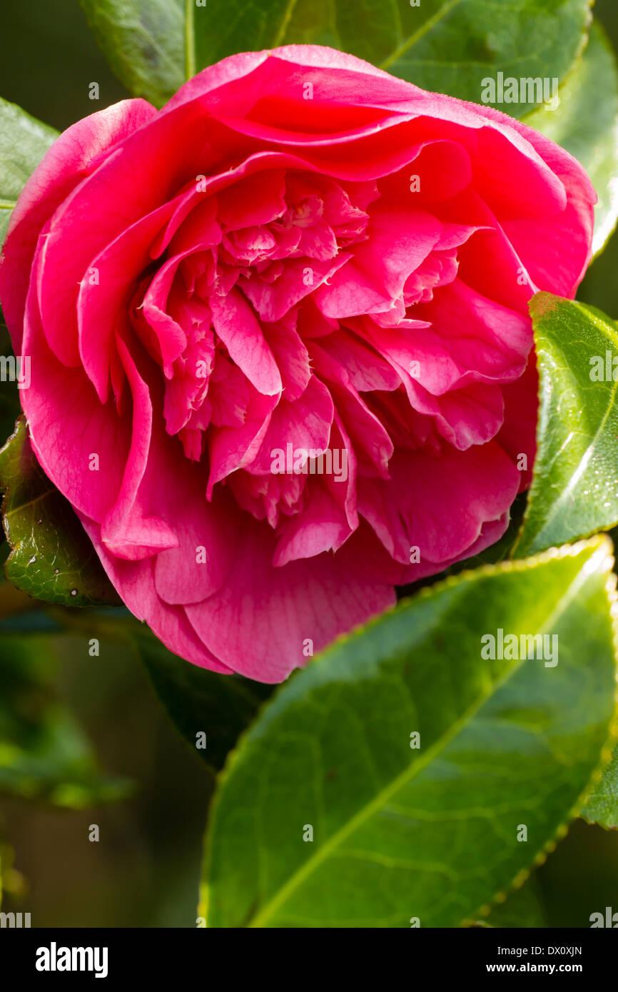"""Einzelne Blüte der Pfingstrose zentriert Camellia X williamsii """"Vorfreude"""" Stockbild"""