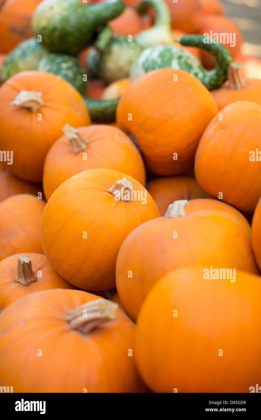 Lebendige orange Kürbisse, Fülle, Nahaufnahme Stockbild