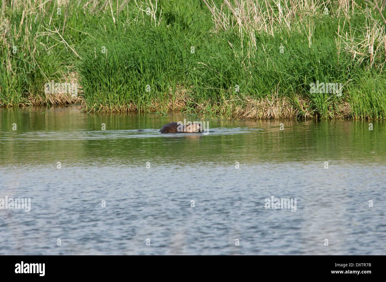 Biber in einer Prärie Teich, Pipestone National Monument, Minnesota. Stockbild