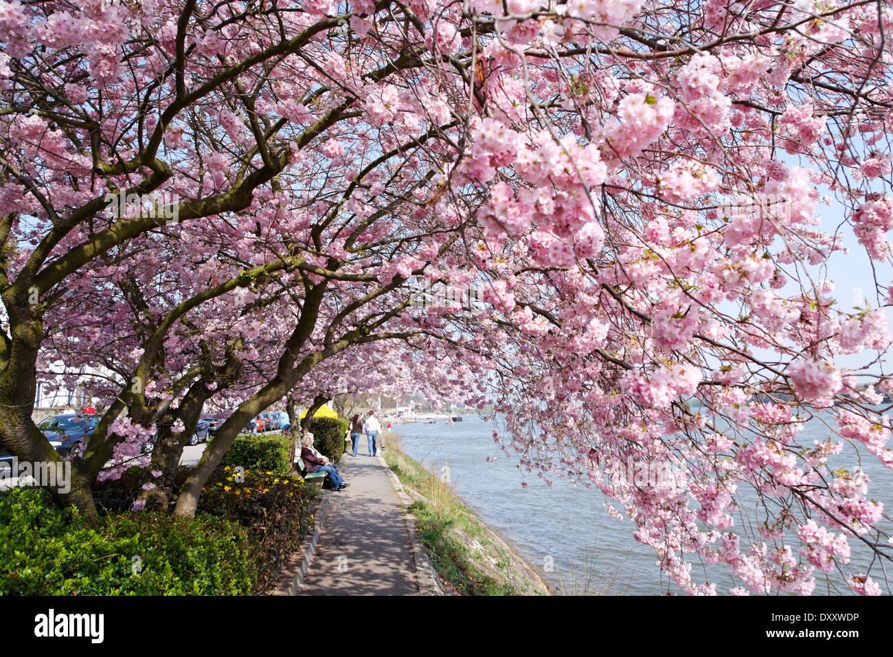 cherry blossom hesse stockfotos cherry blossom hesse. Black Bedroom Furniture Sets. Home Design Ideas