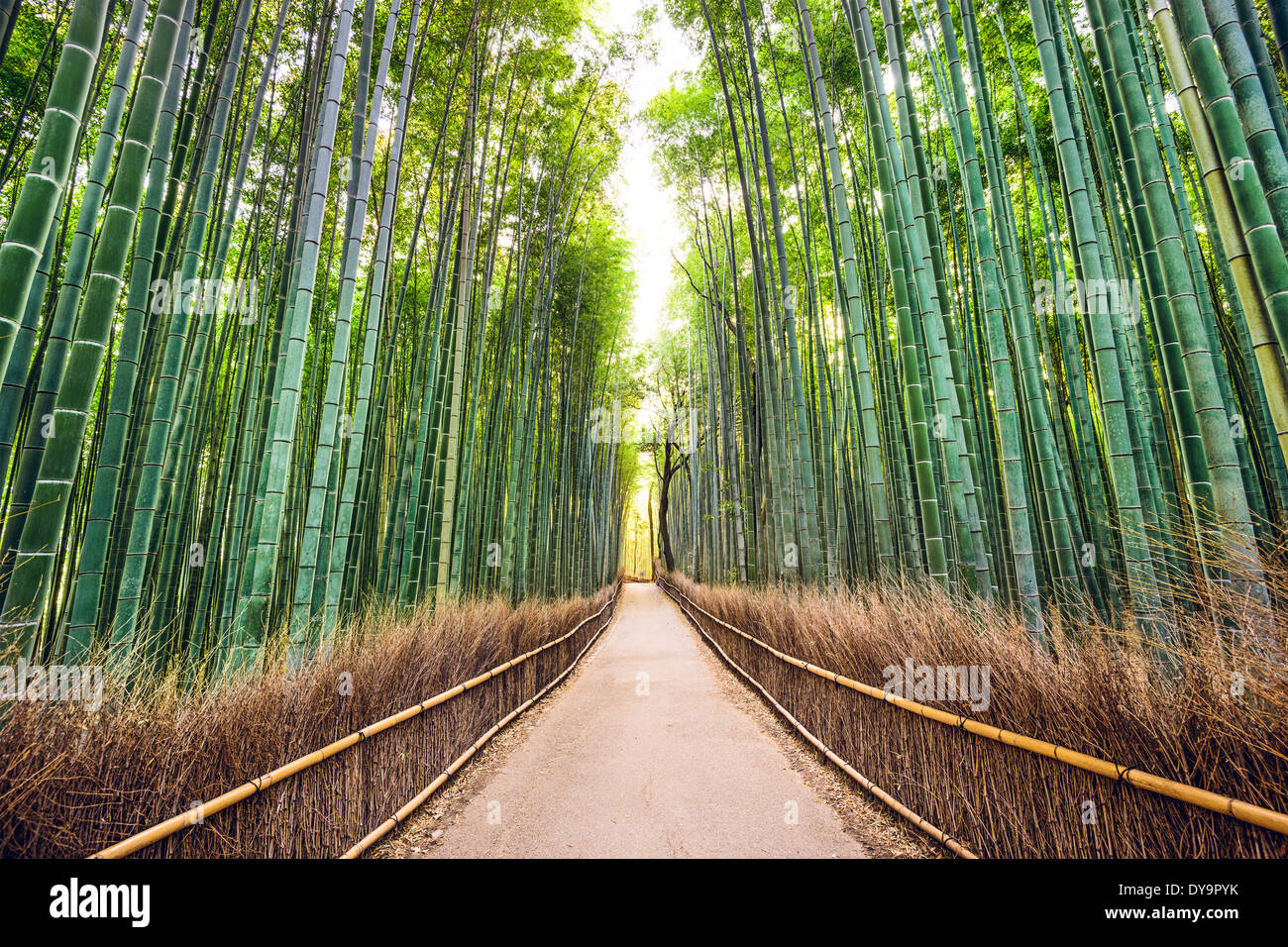 Bambus-Wald von Kyoto, Japan. Stockbild