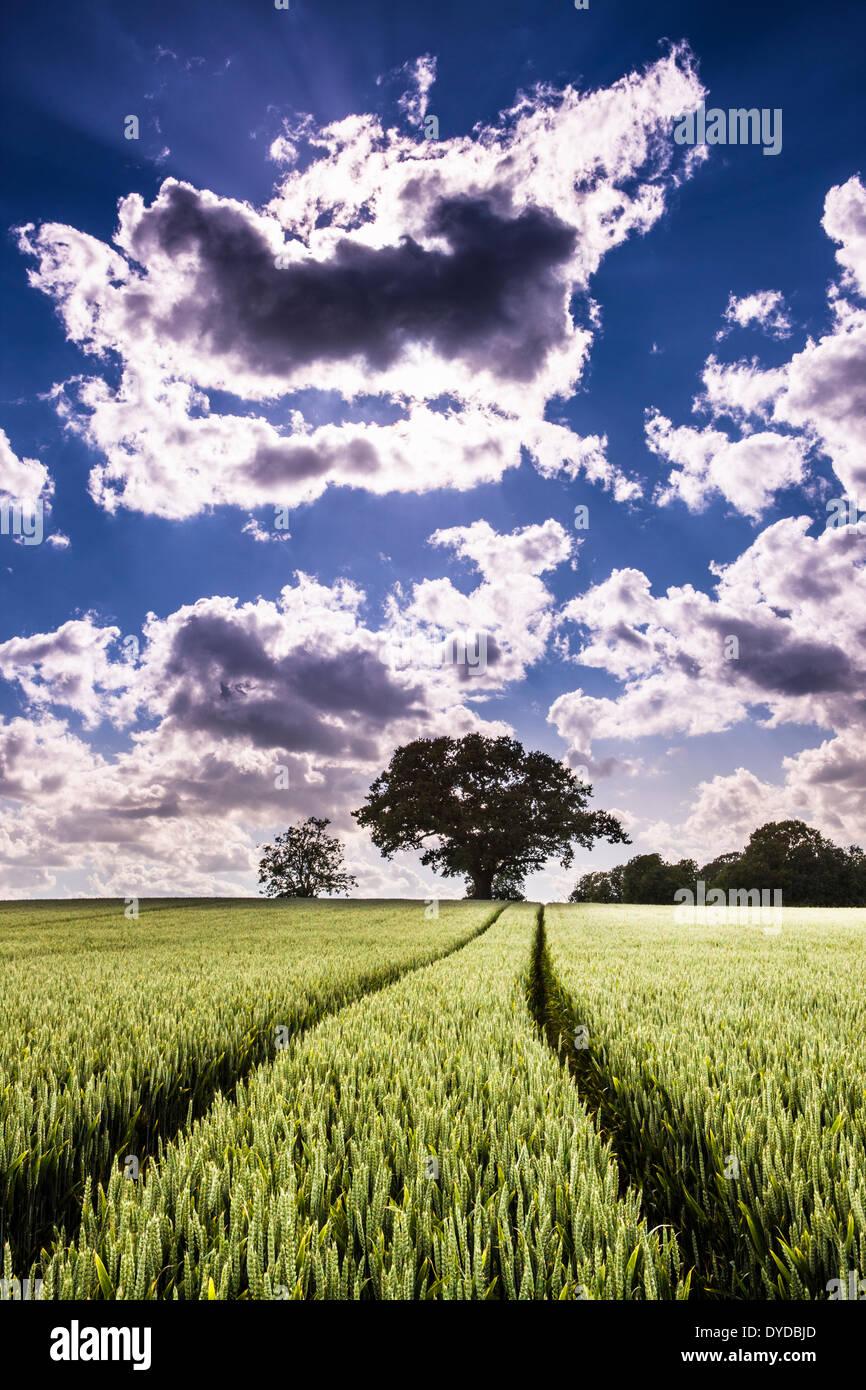 Traktor-Fahrspuren durch ein Feld von Weizen bereit für die Ernte reift. Stockbild