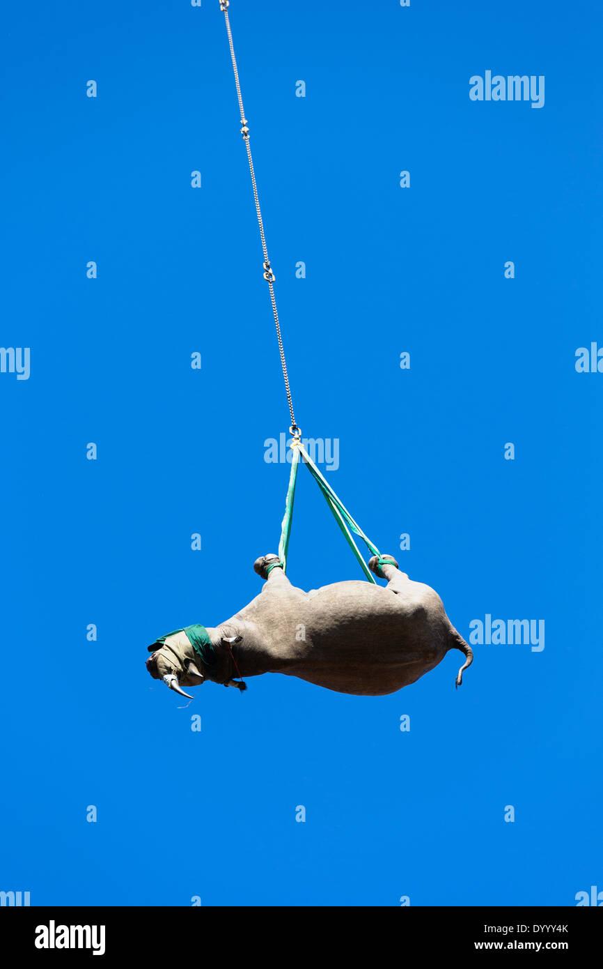 Spitzmaulnashorn (Diceros Bicornis) per Helikopter an einen sicheren Ort transportiert werden. Ithala-Wildreservat. Stockbild