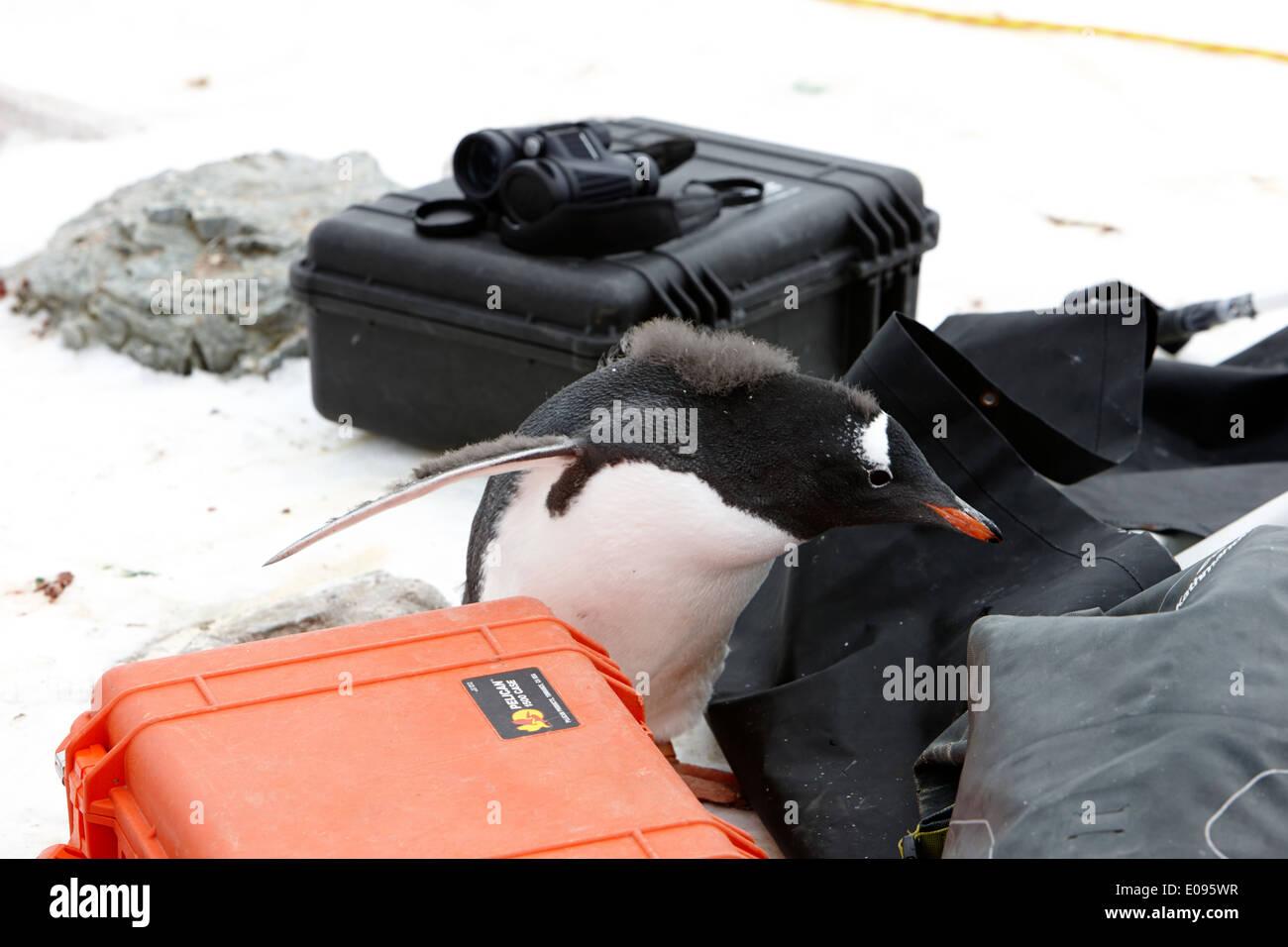 neugierige Jugendliche Gentoo Penguin checkt touristischen Kameraausrüstung Antarktis Stockbild