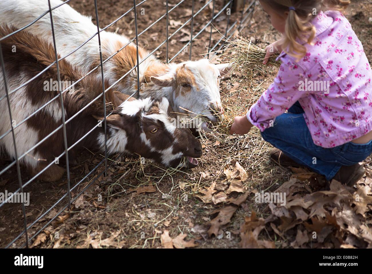 Junges Mädchen füttern Ziegen unter Zaun Stockbild