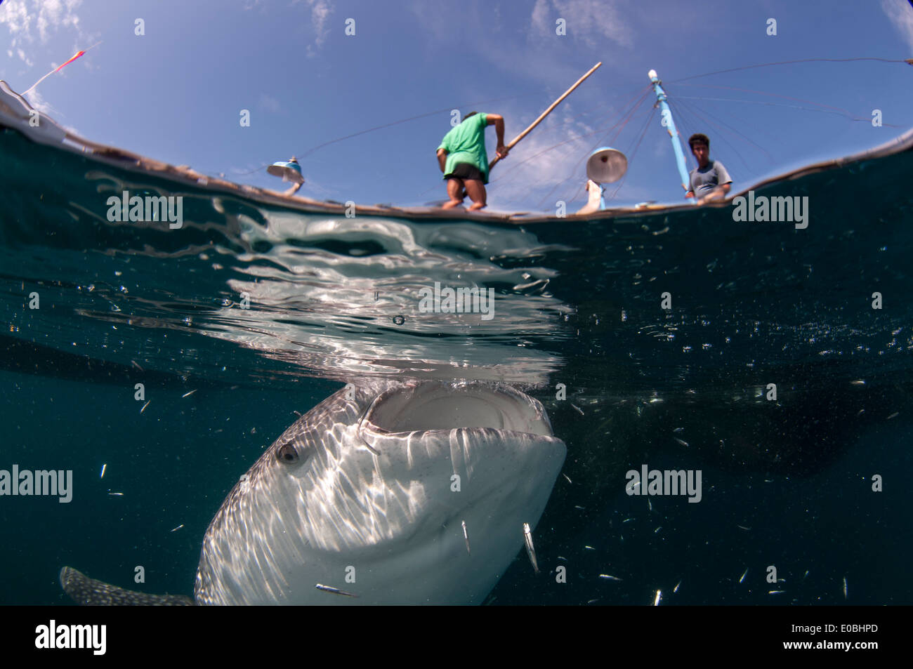 Split-Szene der Walhai unter einem Bagan (Fischerboot mit Plattform und Netze), Cenderawasih-Bucht, Neu-Guinea (Rhincodon Stockbild