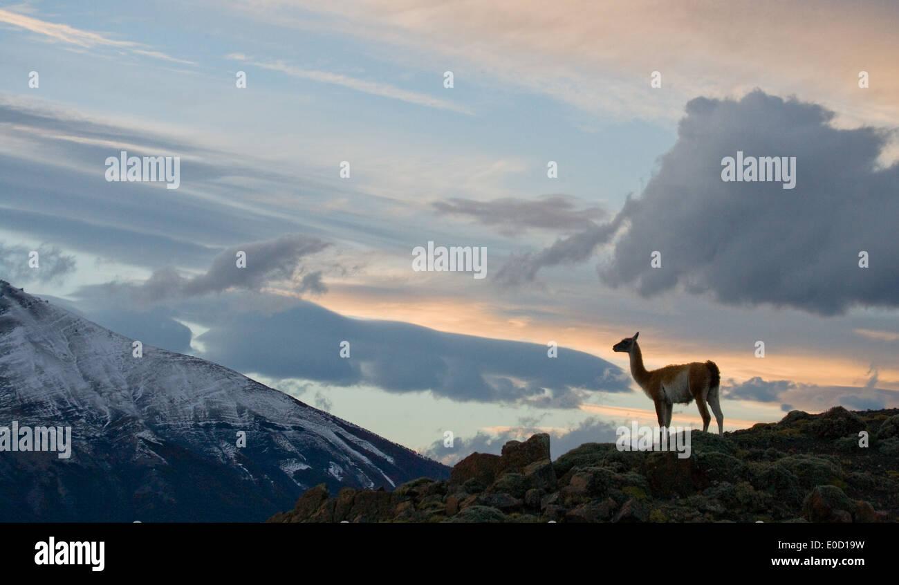 Guanako bei Sonnenuntergang in den Bergen von Torres del Paine, Chile (Lama Guanico) Stockbild