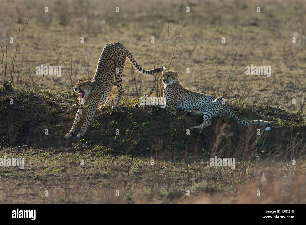 Geparden, entspannend, Serengeti, Tansania (Acinonyx Jubatus) Stockbild