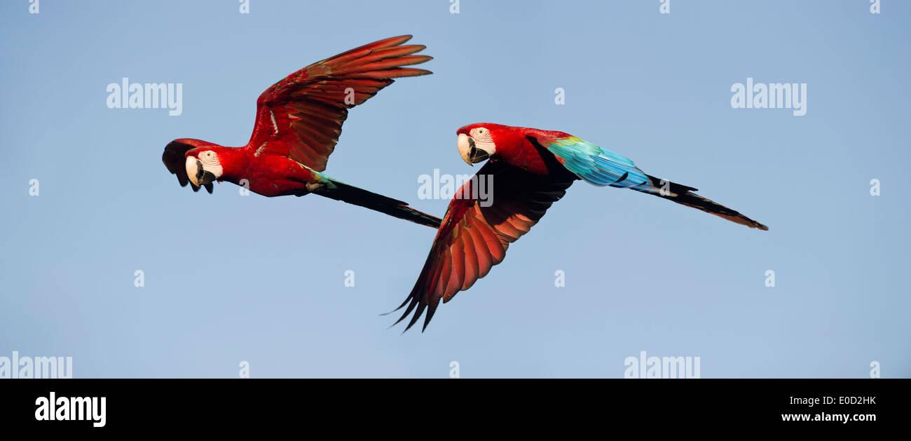 Paar von rot-grün (grün-winged) Aras im Flug, Chapada Dos Guimaraes, Brasilien (Ara Chloropterus) Stockbild