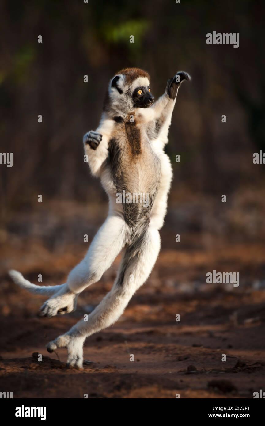 Erwachsenen Verreaux Sifaka tanzen/überspringen, Berenty Reserve, Madagaskar (Propithecus Verreauxi) Stockbild