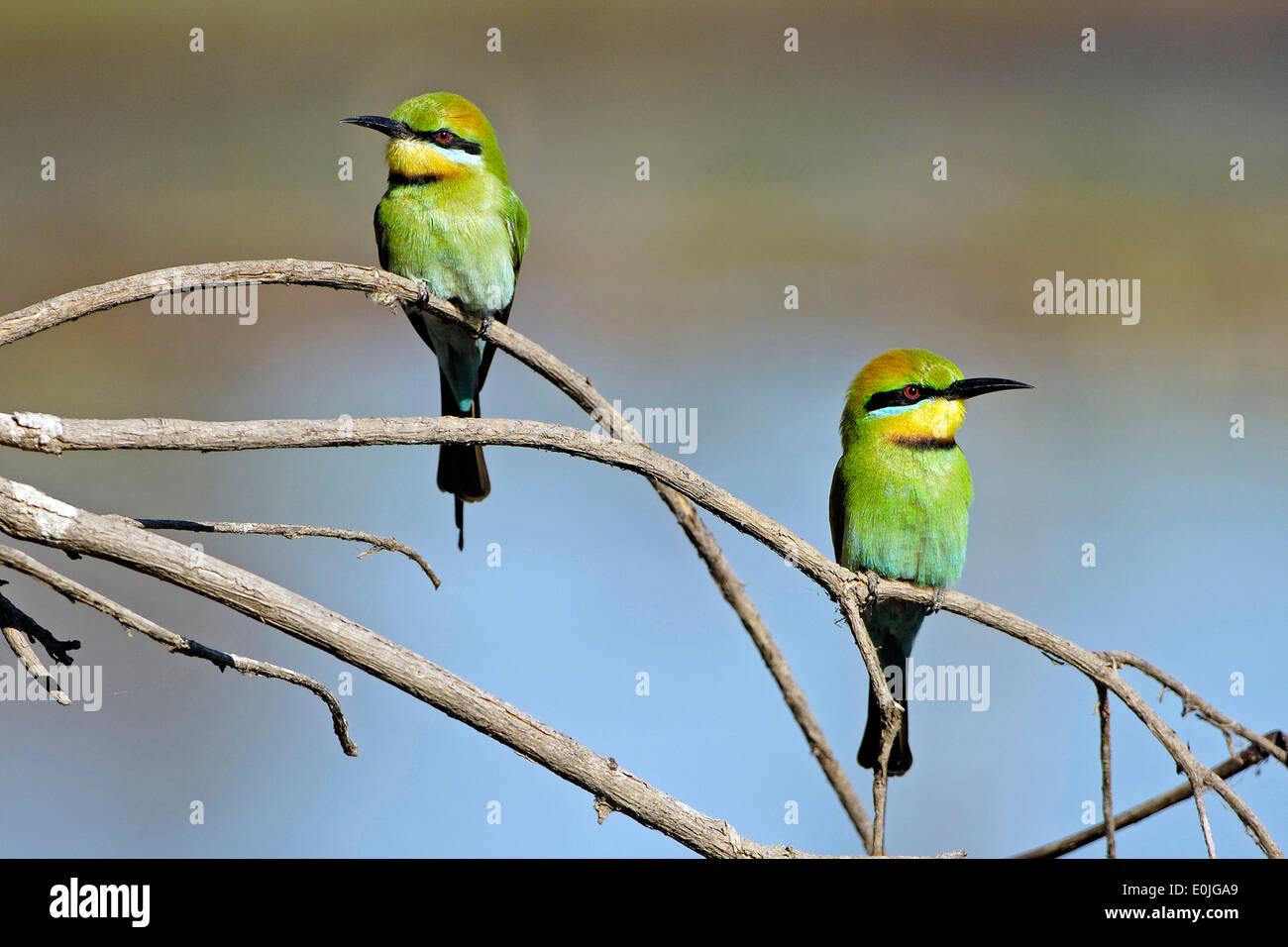 Regenbogenbienenfresser, Merops Ornatus, Kakadu NP, Northern Territory, Australien Stockbild