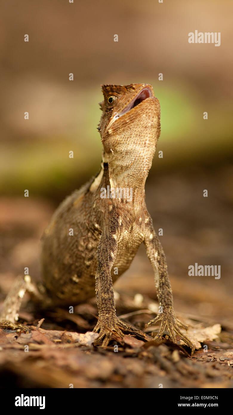 Ein Amazon-Holz-Eidechse warnt der Fotograf seine Distanz im Tambopata National Preserve, Peru zu behalten. (Enyalioides Stockbild