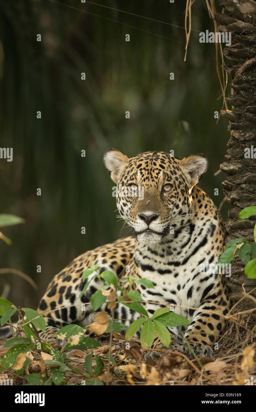 Jaguar entlang Fluss, Pantanal, Brasilien, Südamerika (Panthera Onca) Stockbild