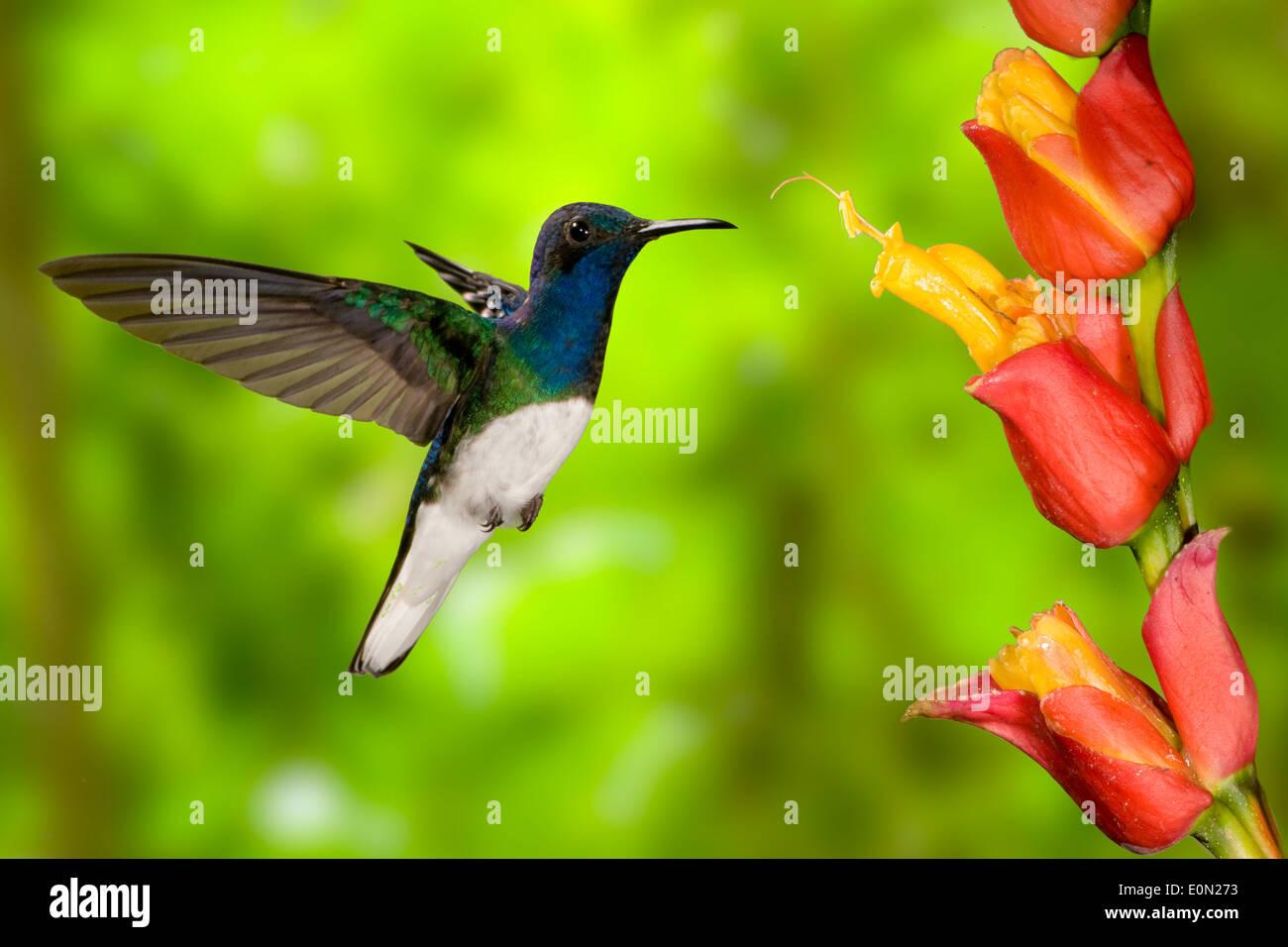 Weiß-necked Jakobiner Sugarfeeding und Nektar-Fütterung, fliegen, Costa Rica, Zentralamerika (Florisuga Stockbild