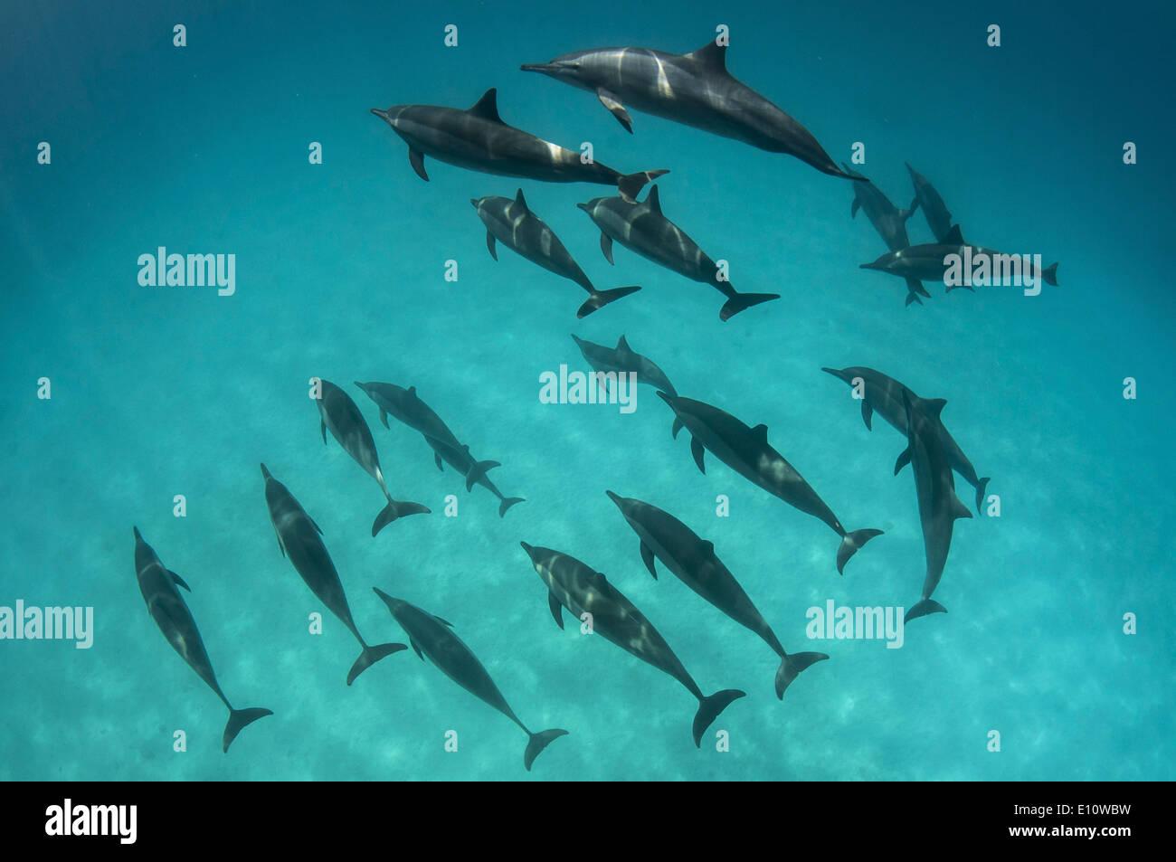 Eine Schule der gemeine Delfine (Delphinus Delphis) Ägypten Stockbild