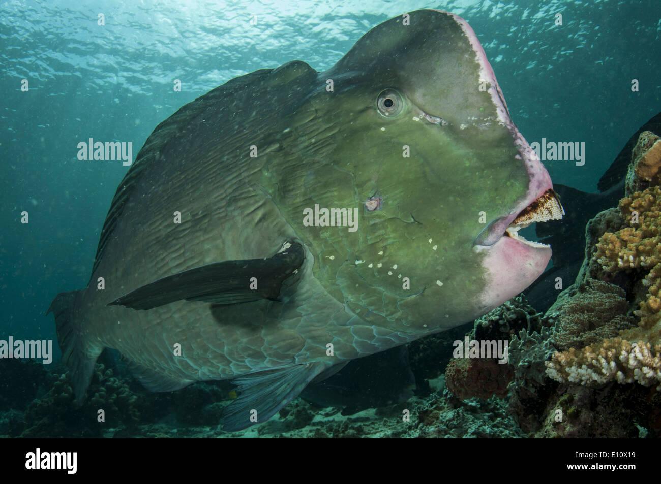 Beginn Papageienfisch, Malaysia Sipdan Insel (Bolbometopon Muricatum) Stockbild