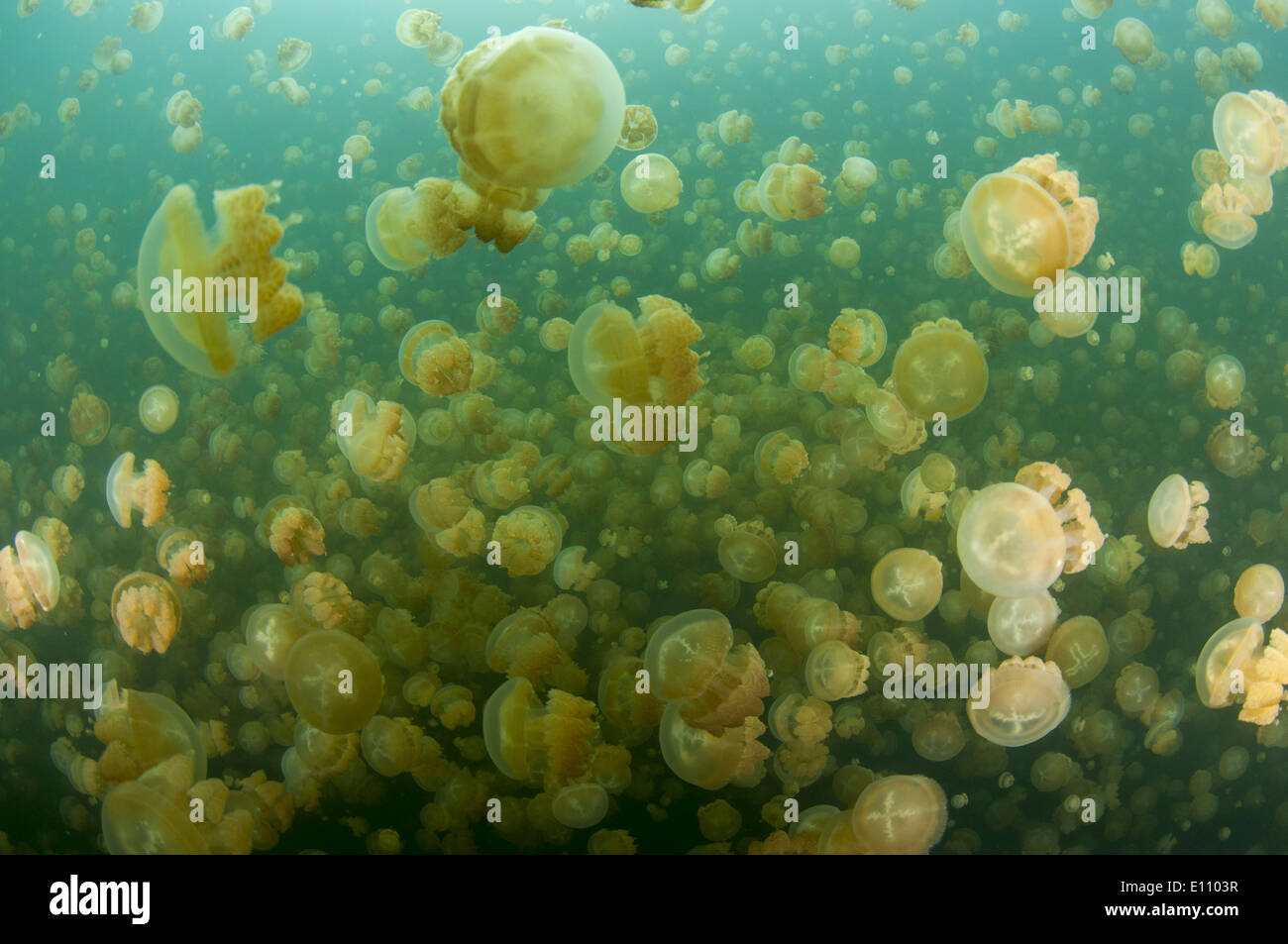 Eine Gruppe von Quallen, Jellyfish Lake, Palau (Mastigias) Stockbild