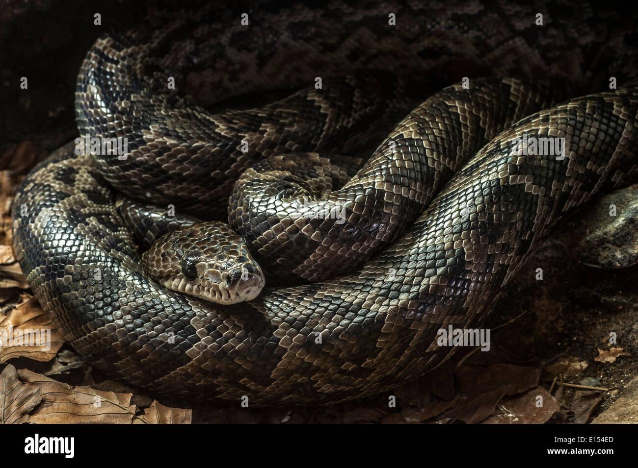 Kubanische Boa (Epicrates Angulifer / Chilabothrus Angulifer) ruhen zusammengerollt, stammt aus Kuba und die Bahamas Stockbild