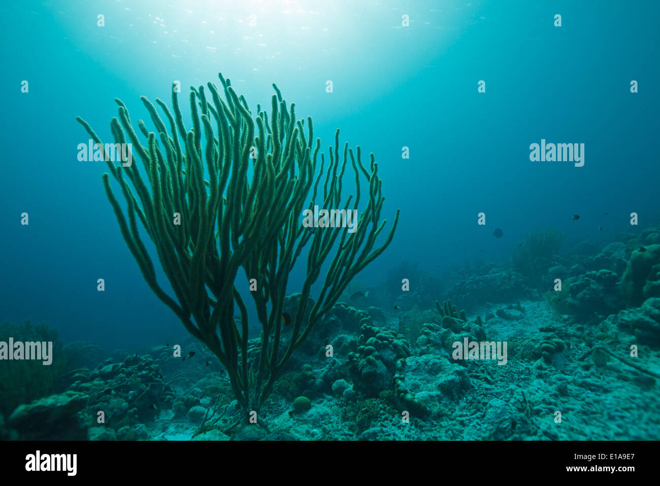 Riesigen Meer Stab (Plexaurella Nutans) in der Karibik auf Bonaire. Tauchplatz Andrea 1. Grote Zeeroede. Stockbild