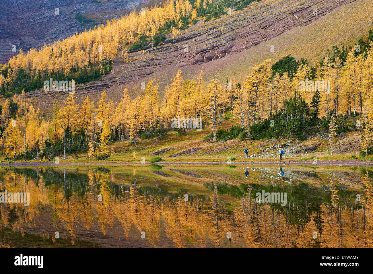 Fallen Farbe Reflexion, gelbe Bäume nennt man Tamarack oder Lärche (Larix Laricina), Upper Lake Rowe, Stockbild
