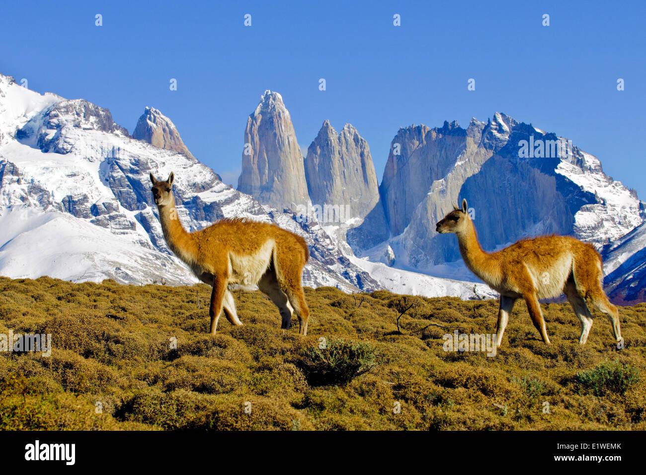 Erwachsenen Guanakos (Lama Guanicoe), Nationalpark Torres Del Paine, Patagonien, Süd-Chile, Südamerika Stockbild